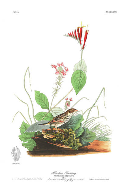 Bunting Painting - Henslow's Bunting  by John James Audubon