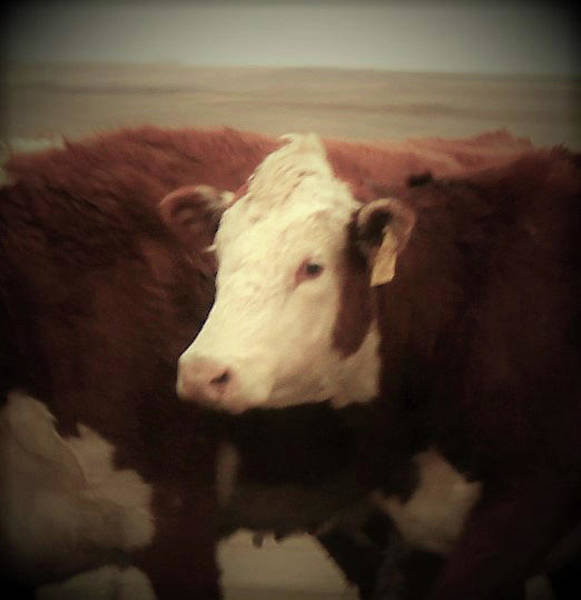 Wall Art - Photograph - Hereford Cow by Toni Grote