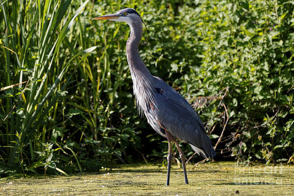 Photograph - Heron In The Marsh by Sue Harper