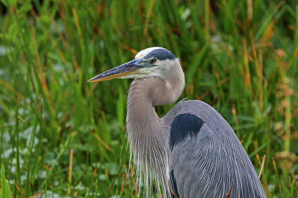 Photograph - Heron by Juergen Roth