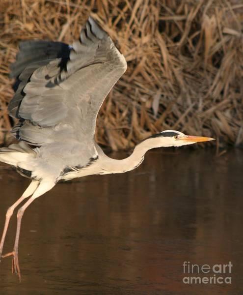 Water Birds Wall Art - Photograph - Heron Taking Off by Valia Bradshaw
