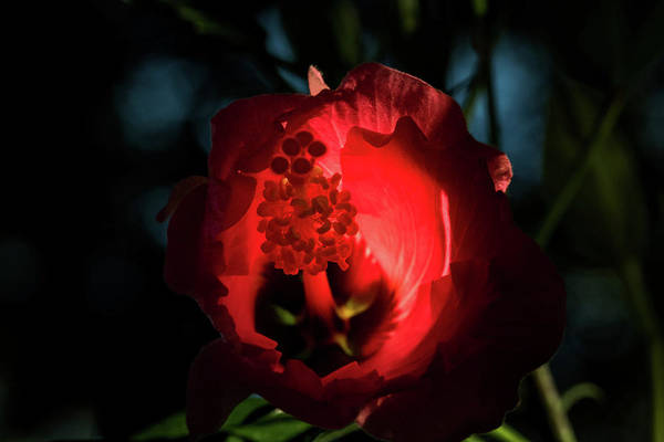 Photograph - Hibiscus by Jay Stockhaus
