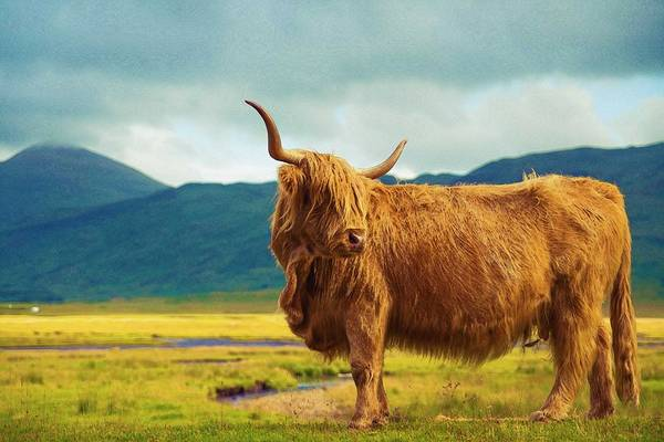 Yak Painting - Highland Cow by Celestial Images