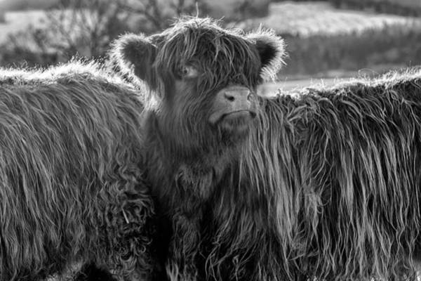 Photograph - Highland Cow by Jeremy Lavender Photography