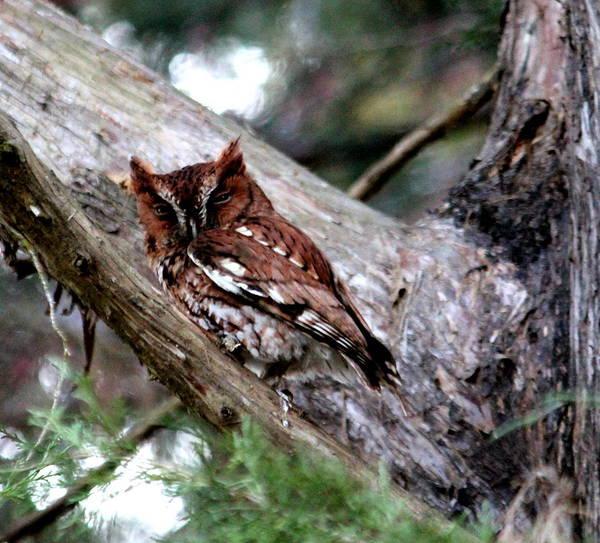Screech Owl Photograph - Home Again by Lisa Scott