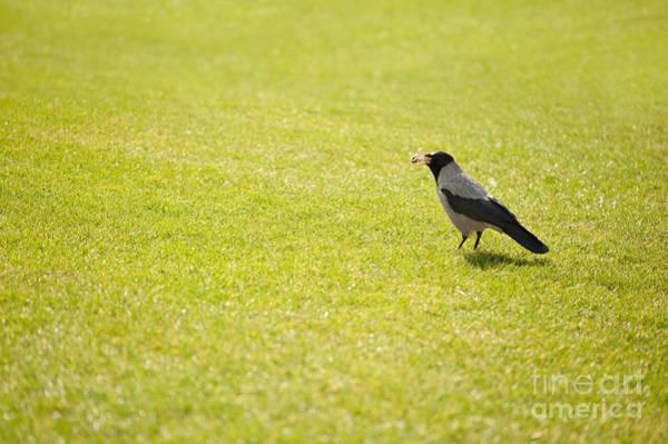 Wall Art - Photograph - Hooded Crow Bird Gathering Hay by Arletta Cwalina