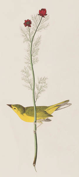 Audubon Painting - Hooded Warbler by John James Audubon