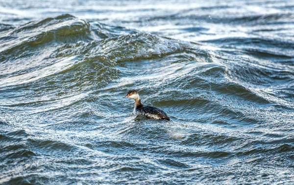 Photograph - Horned Grebe Swimming In The Chesapeake Bay by Patrick Wolf