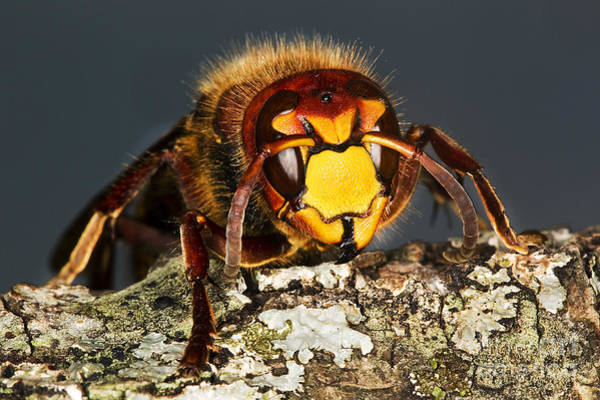 European Hornet Photograph - Hornet Vespa Crabo by Gerard Lacz