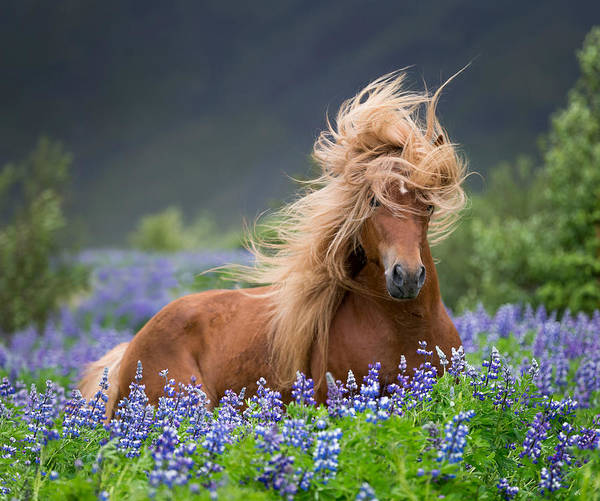 Wall Art - Photograph - Horse Running By Lupines. Purebred by Panoramic Images