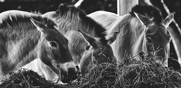 Feedlot Photograph - Horses Eating Hay by Pixabay