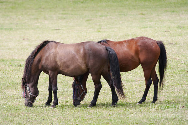 Dun Photograph - Horses On Pasture by Michal Boubin