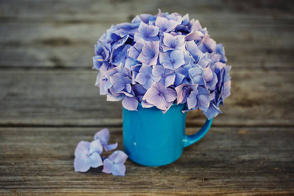 Light Blue Photograph - Hortensia Flowers by Nailia Schwarz
