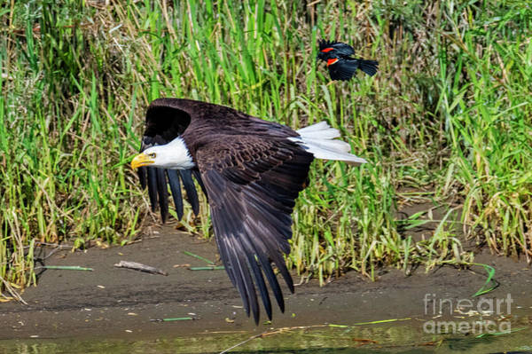 Red-winged Blackbird Wall Art - Photograph - Hot Pursuit by Mike Dawson