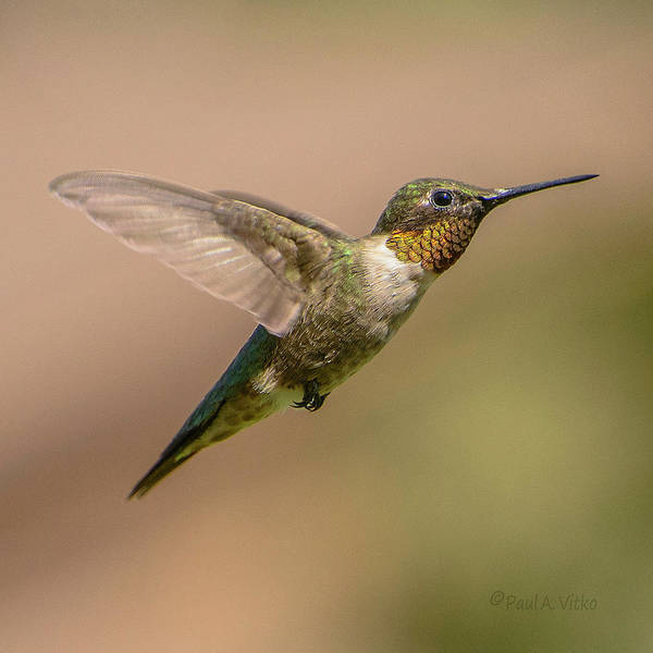 Photograph - Hummingbird_02 by Paul Vitko