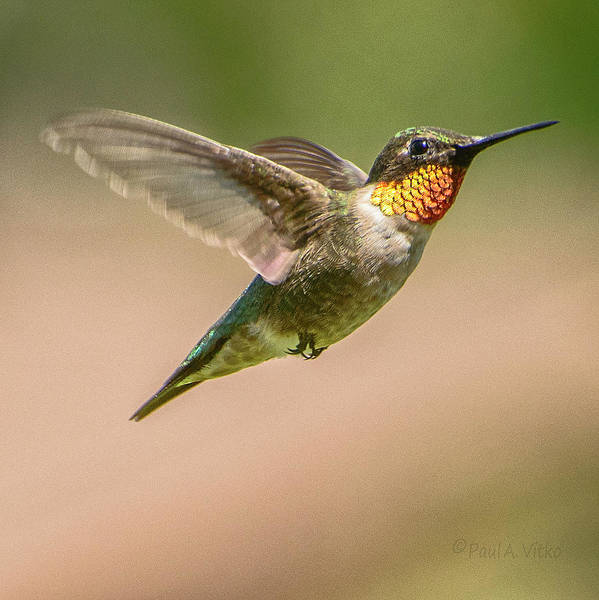Photograph - Hummingbird_03 by Paul Vitko