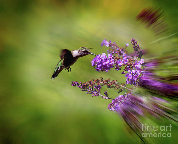 Photograph - Hummingbird At Butterfly Bush by Karen Adams