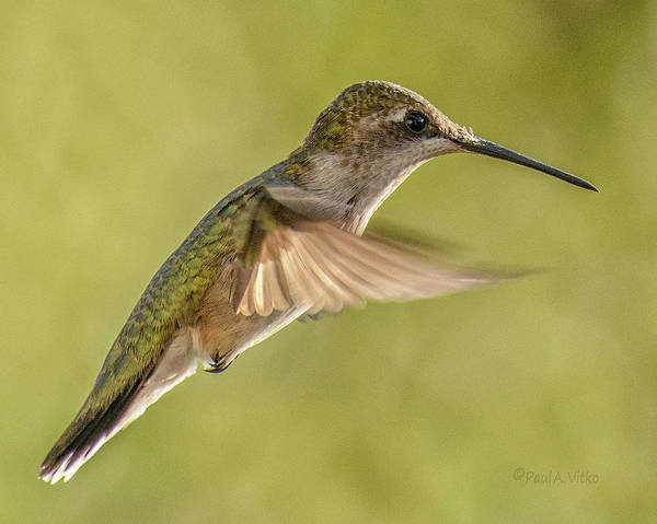 Photograph - Hummingbird_08 by Paul Vitko