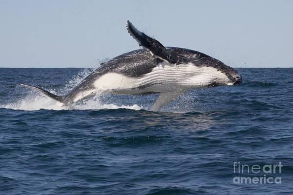 Photograph - Humpback Whale Calf Breaching by Karen Van Der Zijden