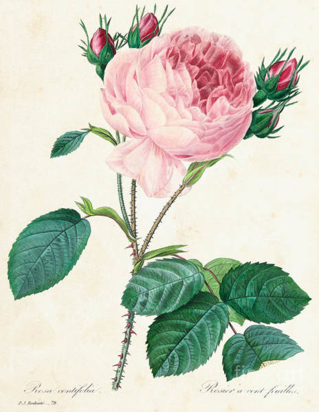 Wall Art - Painting - Hundred Leaved Rose by Pierre Joseph Redoute
