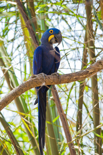 Hyacinth Macaw Photograph - Hyacinth Macaw by B.G. Thomson