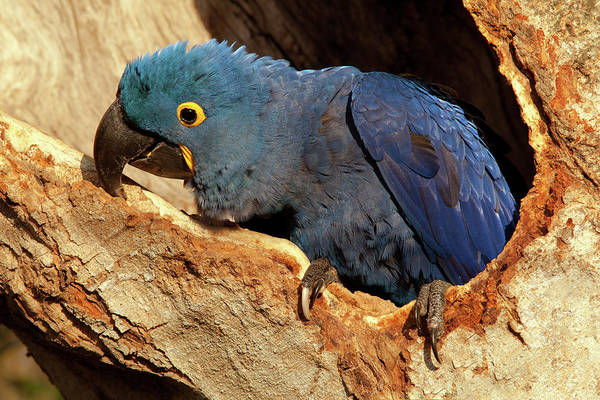 Photograph - Hyacinth Macaw In Nest by Aivar Mikko