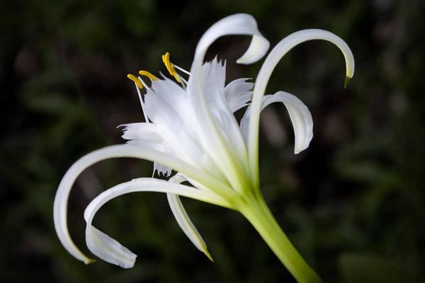 Photograph - Hymenocallis Narcissiflora by Patricia Montgomery