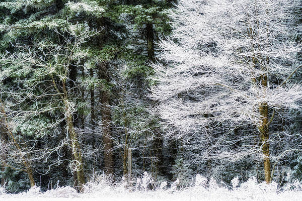 Photograph - Iced Trees by Thomas R Fletcher
