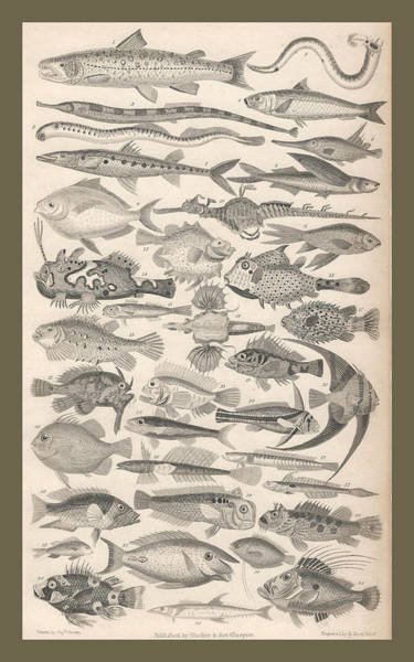 Shark Drawing - Ichthyology by Dreyer Wildlife Print Collections