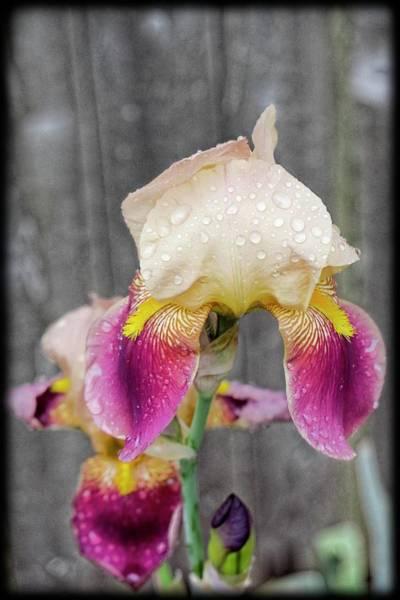 Digital Art - Iris Blossom by Rusty R Smith