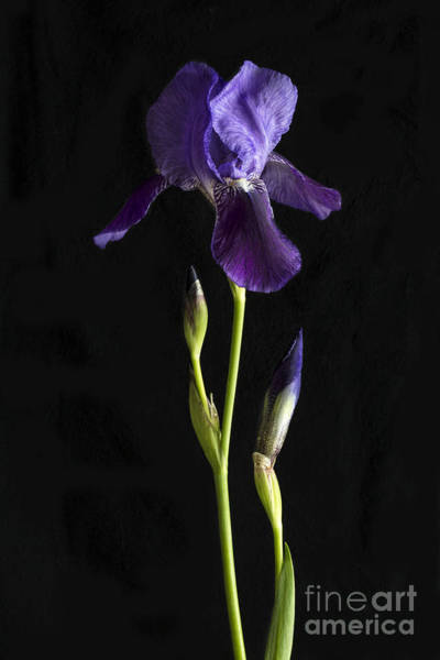 Wall Art - Photograph - Iris by Elena Nosyreva