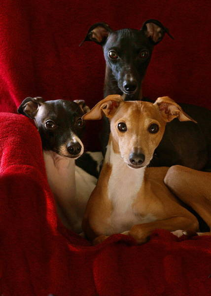 Photograph - Italian Greyhound Brothers by Angela Rath