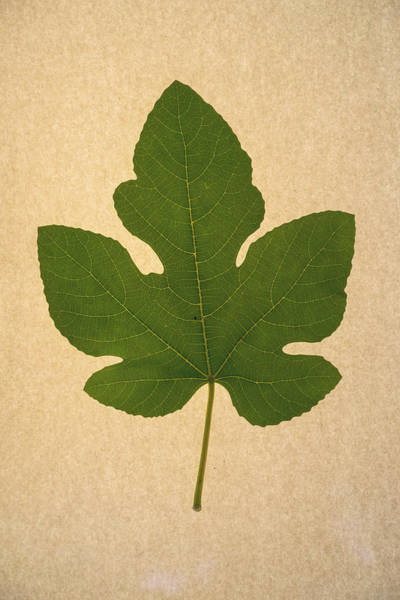 Wall Art - Photograph - Italian Honey Fig Leaf by Frank Wilson