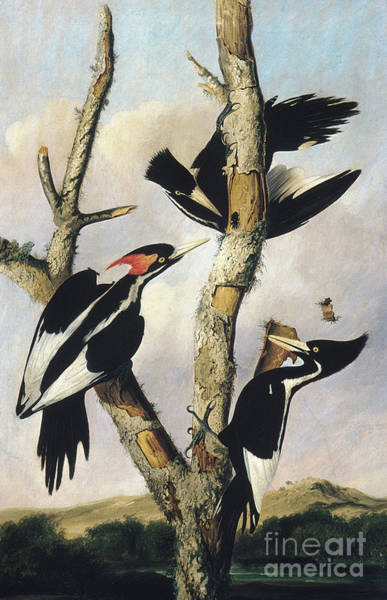 Wall Art - Painting - Ivory Billed Woodpeckers by Joseph Bartholomew Kidd