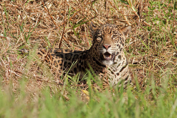 Photograph - Jaguar In Grass by Aivar Mikko