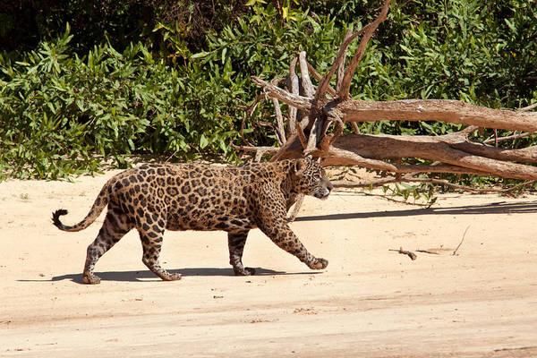 Photograph - Jaguar Walking On A River Bank by Aivar Mikko