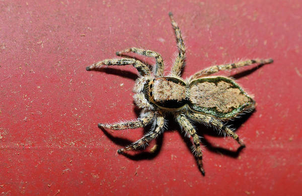 Photograph - Jumping Spider by Larah McElroy