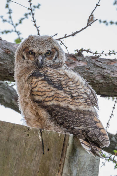 Photograph - Juvenile Great Horned Owl by Paul Schultz
