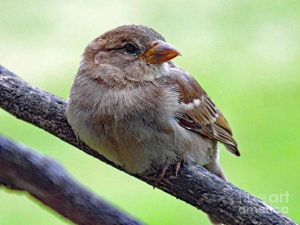 White-throated Sparrow Photograph - Juvenile House Sparrow by Cindy Treger