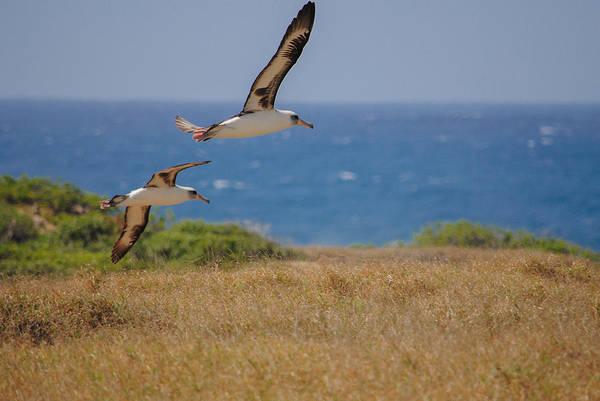 Kaena Photograph - Kaena Albatross by Megan Martens