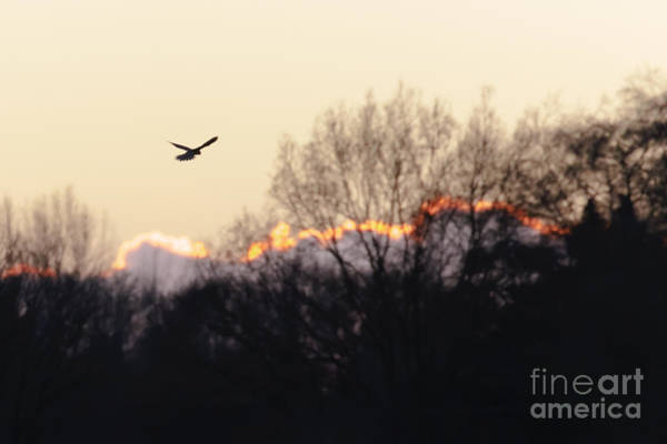 Kestrel Hunting At Sunset Art Print