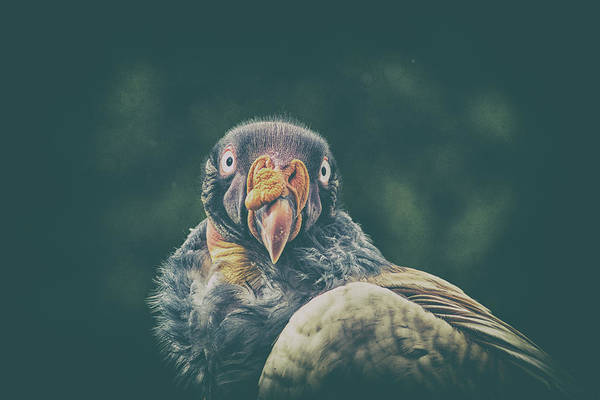 Ugly Photograph - King Vulture by Martin Newman