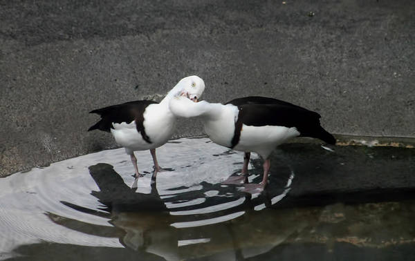 Kissing Ducks Art Print