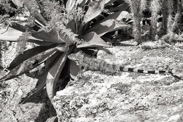 Photograph - Kleine Knip Curacao Iguana by For Ninety One Days