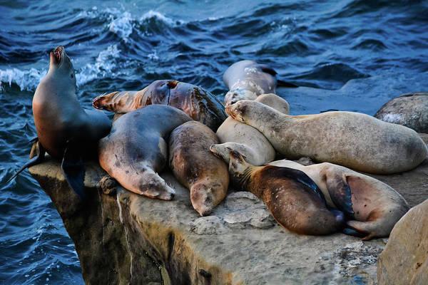 Photograph - Sea Lions La Jolla by Kyle Hanson