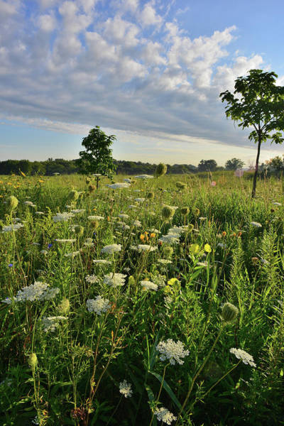 Photograph - Lakewood Queen Anne's Lace by Ray Mathis