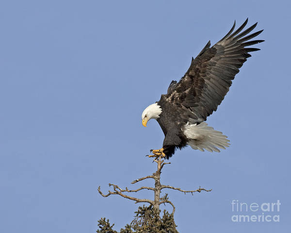 Wall Art - Photograph - Landing Eagle by Tim Grams