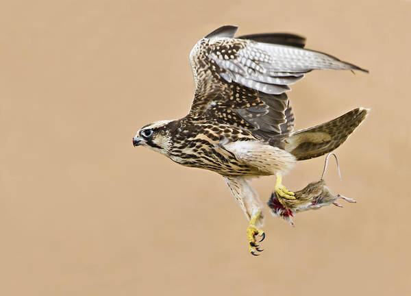 Wall Art - Photograph - Lanner Falcon by Basie Van Zyl