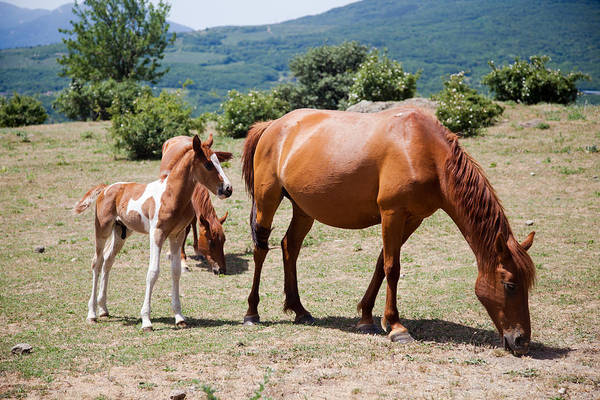 Heber Springs Photograph - Large And Small Horses Grazing In Field  by Elena Saulich