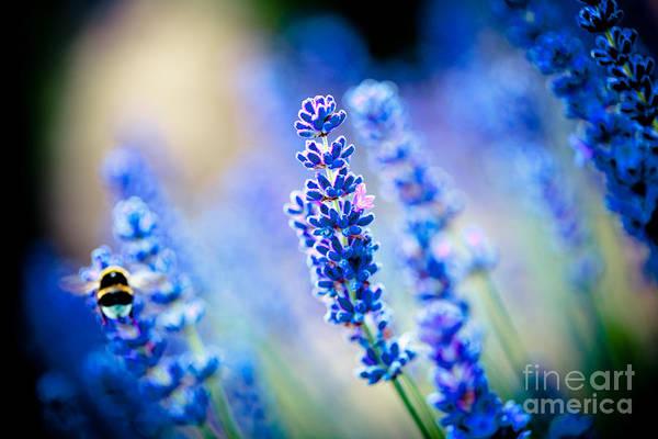Photograph - Lavander Flowers With Bee In Lavender Field Artmif by Raimond Klavins